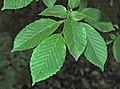 Carpinus betulus 'fastigiata' (upright European hornbeam) 1 (49080664428).jpg