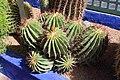Caryophyllales - Echinopsis sp. - 1.jpg