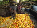 Cashew apples being squashed in Chorao, Goa, India. 03.JPG