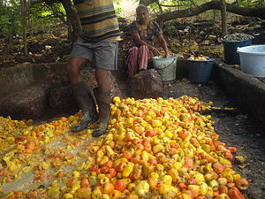 Feni (liquor) - Cashew apples being squashed in Chorao, Goa