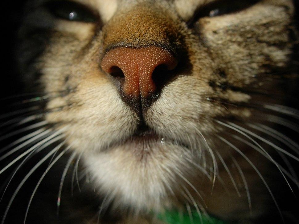 Cat rhinarium