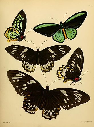 Ornithoptera richmondia - Ornithoptera richmondia figs. 1 and 2 The plate accompanied Gray's original description. The female Ornithoptera euphorion below (fig. 3) is much larger.
