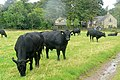 Cattle at Ingram - geograph.org.uk - 1509972.jpg