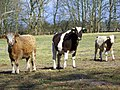 Cattle near Avon - geograph.org.uk - 1188545.jpg