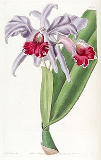 Cattleya labiata - Edwards vol 22 pl 1859 (1836)