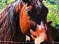 Cavalo posando para foto - panoramio.jpg