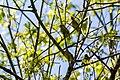 Cedar waxwing (40882890265).jpg