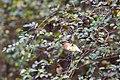 Cedar waxwing (44622085680).jpg