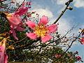 Ceiba speciosa, Flower.jpg
