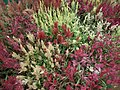 Celosia wool flower from Lalbagh flower show Aug 2013 8471.JPG