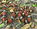 Cemophora coccinea, Scarlet Snake.jpg