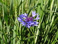 Centaurea cyanus1.JPG