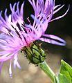 Centaurea cyanus et formicidae.jpg