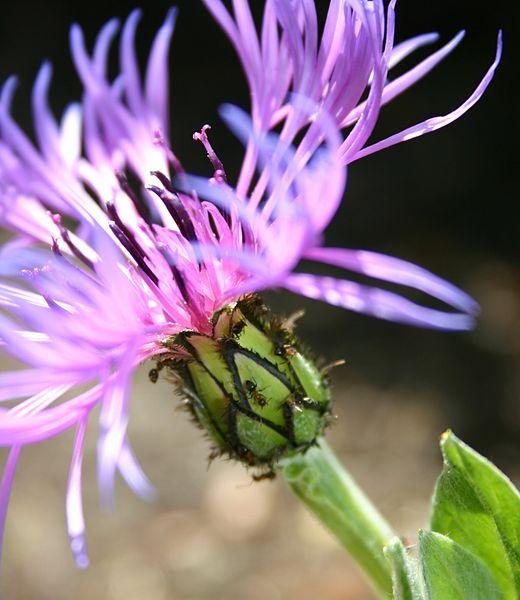 Fichier:Centaurea cyanus et formicidae.jpg