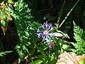 Centaurea montana - Méolans-Revel, Laverq.jpg