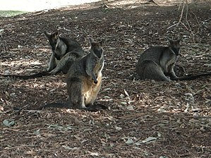 Central Gardens Nature Reserve - Image: Central Gardens Wallabies