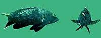 Centropristis striata underwater 1.jpg