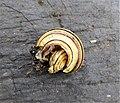 Cepaea nemoralis. Detail of the snail broken by a thrush. Grove Snail.jpg