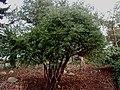 Cephalotaxus-harringtonia.JPG