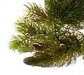 Ceratophyllum demersum 240907a.jpg