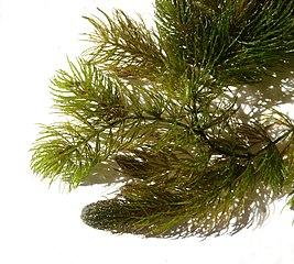 Rožkatec ponorený (lat. Ceratophyllum demersum)