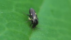 File:Ceratopogonidae sp - 2012-08-21.ogv