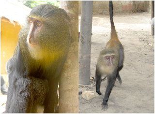 Lesula Species of Old World monkey