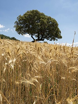 Cereal a Rin de la Carrasca (5).jpg