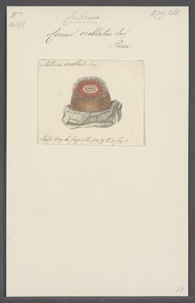 File:Cereus ocellatus - - Print - Iconographia Zoologica - Special Collections University of Amsterdam - UBAINV0274 109 05 0047.tif