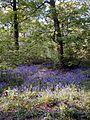 Chaddesden bluebell wood.jpg