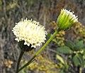 Chaenactisartemisiifolia1.jpg