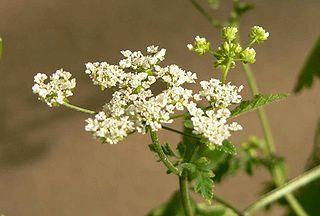 <i>Chaerophyllum</i> Genus of flowering plants