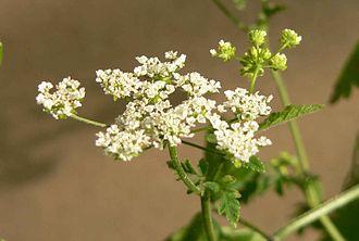 Chaerophyllum - Chaerophyllum temulum