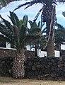 Charco del Palo, Lanzarote. Hoopoe on stone wall. - panoramio.jpg