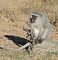 Cheeky Vervet Monkey (Chlorocebus pygerythrus) male (32170134270).jpg