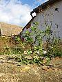 Chenopodium murale sl23.jpg