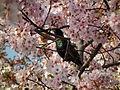 Cherry Blossom DC 2014 (13914263019).jpg