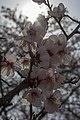 Cherry Blossom in Yeouido Festival.jpg