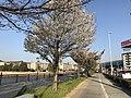 Cherry blossoms near Aeon Mall Kashiihama 2.jpg