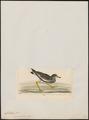 Chettusia inornata - 1820-1860 - Print - Iconographia Zoologica - Special Collections University of Amsterdam - UBA01 IZ17200129.tif