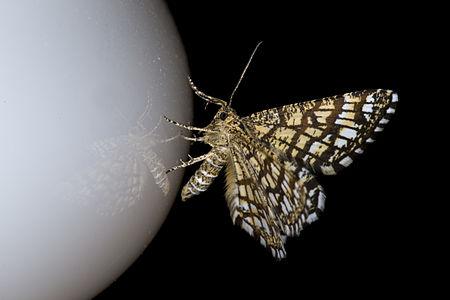 Chiasmia clathrata, Lodz(Poland)02(js).jpg