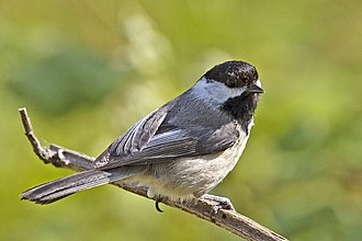 Black-capped chickadee - Black-capped chickadee, Iona Beach Regional Park