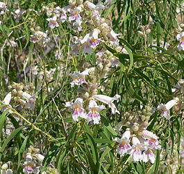 Chilopsis linearis 3.jpg