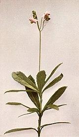 Chimaphila umbellata WFNY-152A.jpg
