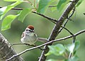 Chipping sparrow Waterton Lakes (2648742849).jpg