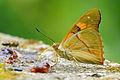 Chitoria ulupi arakii male 20140525.jpg