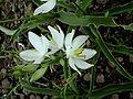 Chlorophytum tuberosum.jpg
