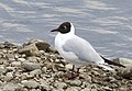 Chroicocephalus ridibundus - Black-headed Gull 06.jpg
