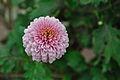 Chrysanthemum - Science City - Kolkata 2012-01-11 8037.JPG