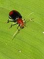 Chrysomelidae (6282945494).jpg